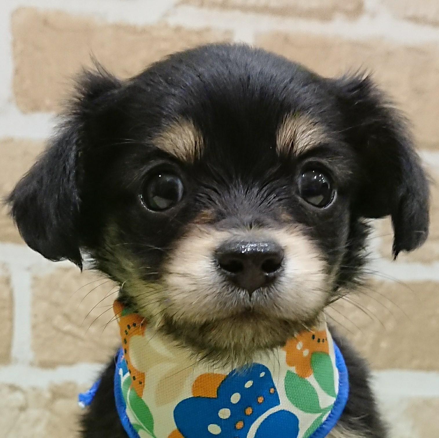 ハーフ犬(父:ロングコートチワワ、母:ミニチュアダックスフンド) イメージ