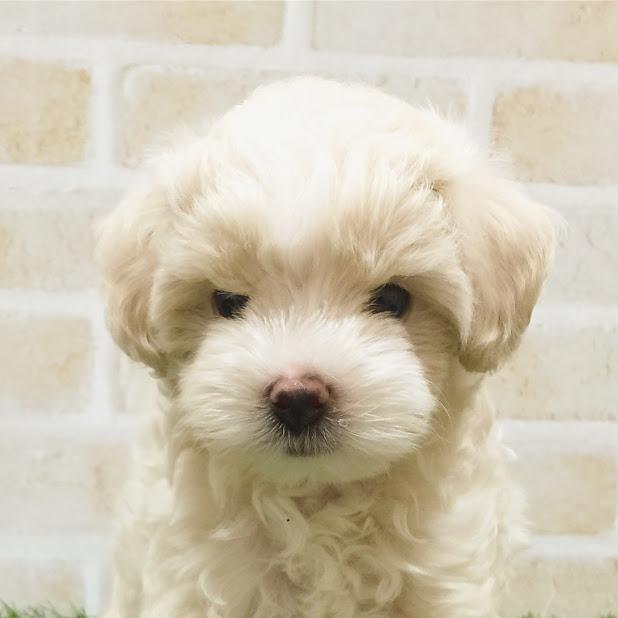 ハーフ犬(父:トイプードル 母:マルチーズ) イメージ